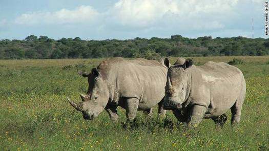 111110021957-rhino-extinct-northern-white-horizontal-gallery